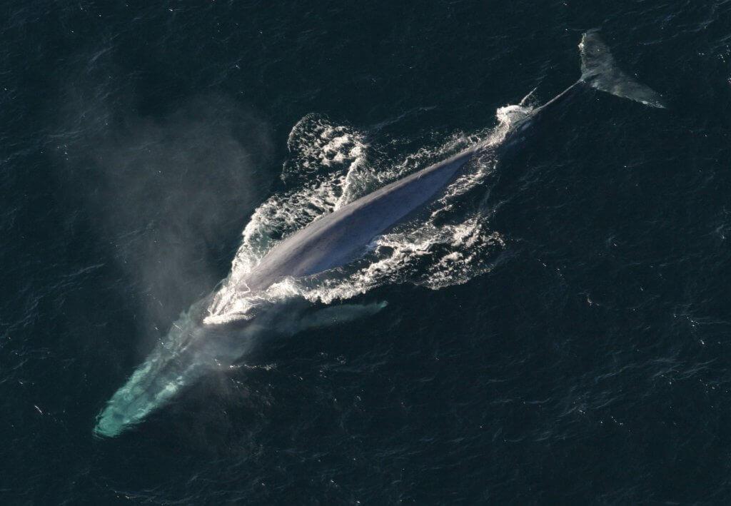 pazifischer ozean blauwal